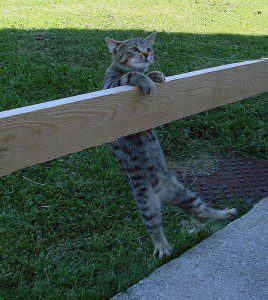 Image of cat hanging by claws on fence